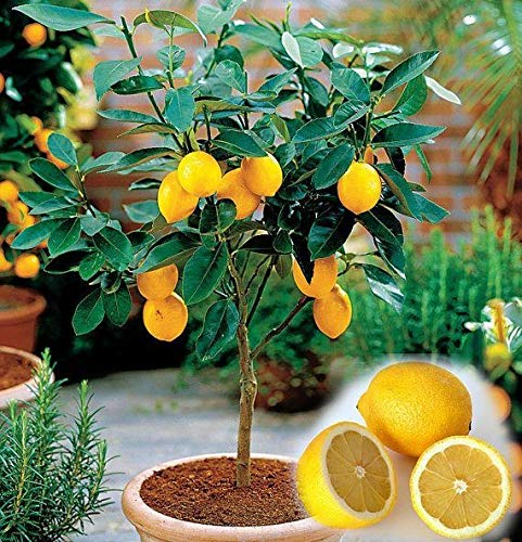 yellow0pcs/bag Edible Fruit Meyer Lemon Plants Exotic Citrus Bonsai Lemon Tree Fresh (Trees Fruit Patio)