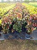 PlantVine Acalypha wilkesiana, Copperleaf - Extra Large - 12-14 Inch Pot (7 Gallon), Live Plant