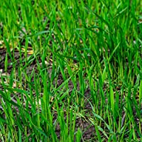 Winter Rye is an excellent winter field cover crop because it rapidly produces a ground cover that holds soil in place against the forces of wind and water. Rye's deep roots help prevent compaction in Annually tilled fields and, because its roots are...