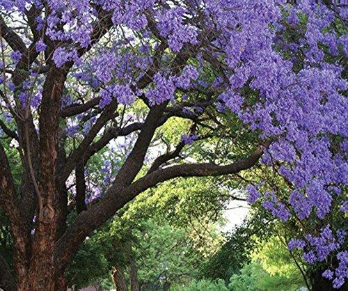 - Jacaranda Mimosifolia Tree Live Plant Purple Flowering Brazilian Rose Wood