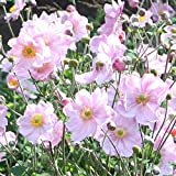 50 Bulb of Anemone - Queen Charlotte - Japanese Anemone