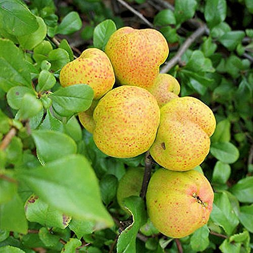 Flowering quince, cydonia oblonga pome fruit with slightly tart flavor 25 (Flowering Quince Fruit)