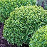 Burpee 67105A Boxwood Basil Seeds, 100