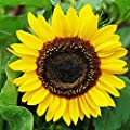 "Domino Sunflower Seeds - Height 4-5"" and Good Hedge and Screening Plant. Approximately 100 Seeds."