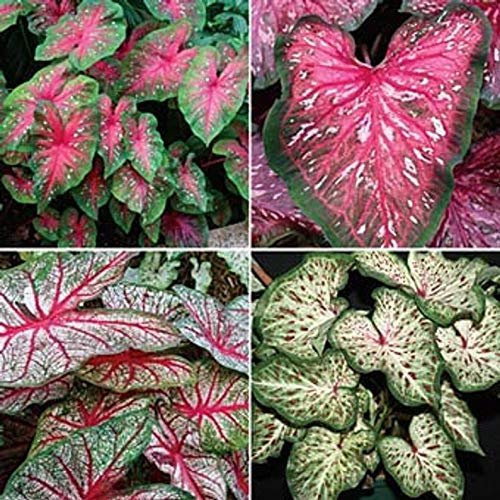 kakroz Caladium Tropical Mix, Rich Foliage with Contrasting Green Borders(Bulbs) Classic, Elegance for Shady Gardens. Now Shipping ! (20 Bulbs)