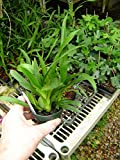 Oncidium Twinkle orchid seedling, a miniature, will put out charming flowers