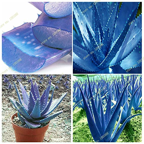 - New 2016 new blue aloe seeds, rare courtyard balcony potted plants, herbs, easily grown plants 50 PCS/bag