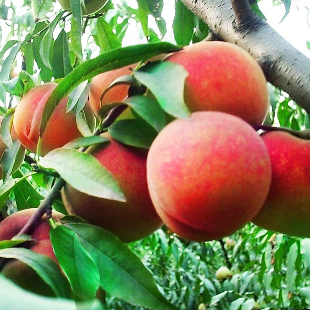10 Seeds Dwarf Peach Fruit Tree Indoor/Outdoor