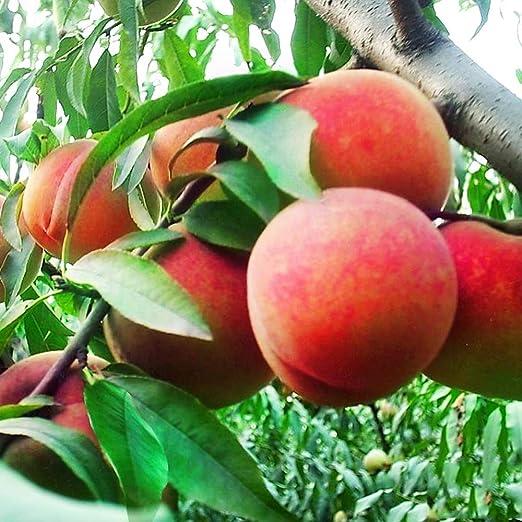 10 Semillas enano Peach Tree Fruit Interior/Exterior: Amazon.es: Jardín