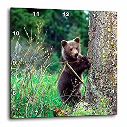3dRose Danita Delimont - Baby Animals - Grizzly bear cub leaning against a tree looking out for predators - 13x13 Wall Clock (dpp_259610_2)