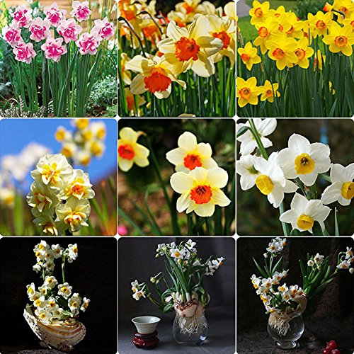 Narutosak 400Pcs Narcissus Scented Pastel Mixed Color Daffodil Spring Plant Flower Seeds