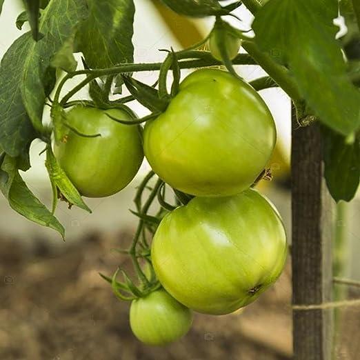 FastDirect Semillas de Tomate Verde 50 PCS Semillas de Verduras ...
