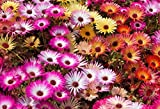 ICE PLANT 101 SEEDS, A MIX OF BRIGHT COLORS, MESEMBRYANTHEMUM, DAISYLIKE FLOWERS