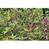 Istoredirect Tulsi (Holy Basil) Seeds - Kitchen Gardening Seeds By Istoredirect - Approx 100 Seeds!