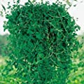 Pennyroyal Mint 35 Seed Keep Bugs Away the Natural Way Deters Fleas, Mice & More
