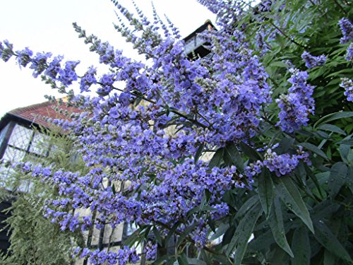 25 Chaste Berry Tree Vitex Agnus Castus Monk's Pepper Flower Seeds