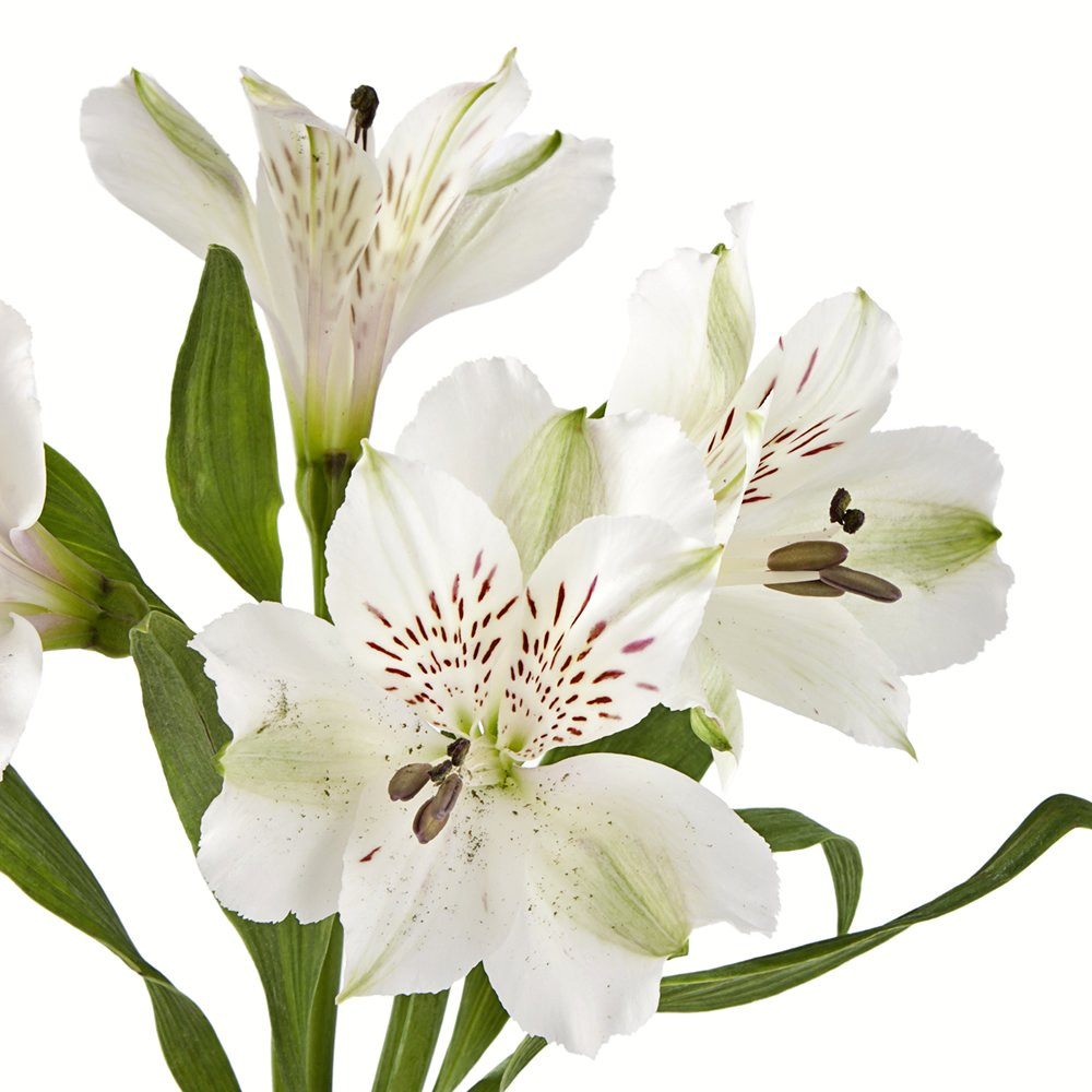 Amazon wholesale alstroemerias white peruvian lilies in bulk amazon wholesale alstroemerias white peruvian lilies in bulk 80 white fresh cut format lily flowers grocery gourmet food mightylinksfo Gallery