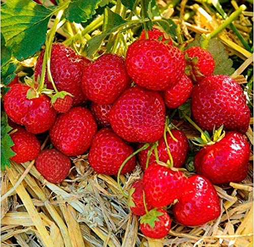 Amazon.com: Caiuet Seed house - 50 plantas de fresa ...