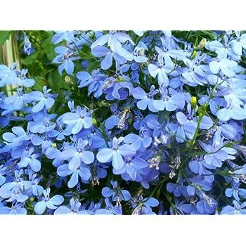 Amazoncom 200 Blue Splash Lobelia Regatta Erinus Flower Seeds