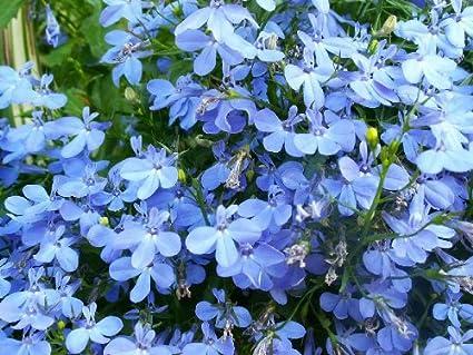 Amazoncom 200 Sky Blue Lobelia Regatta Lobelia Erinus Flower