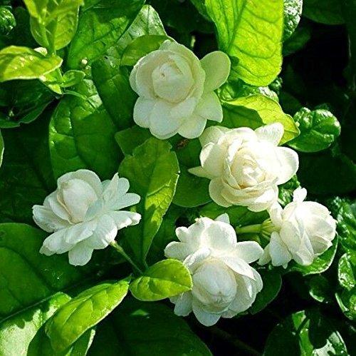 Amazon price history for Advancedestore Fresh Motiya/Jasmin/Mogra Sambac Live Flower Jasmine Plant