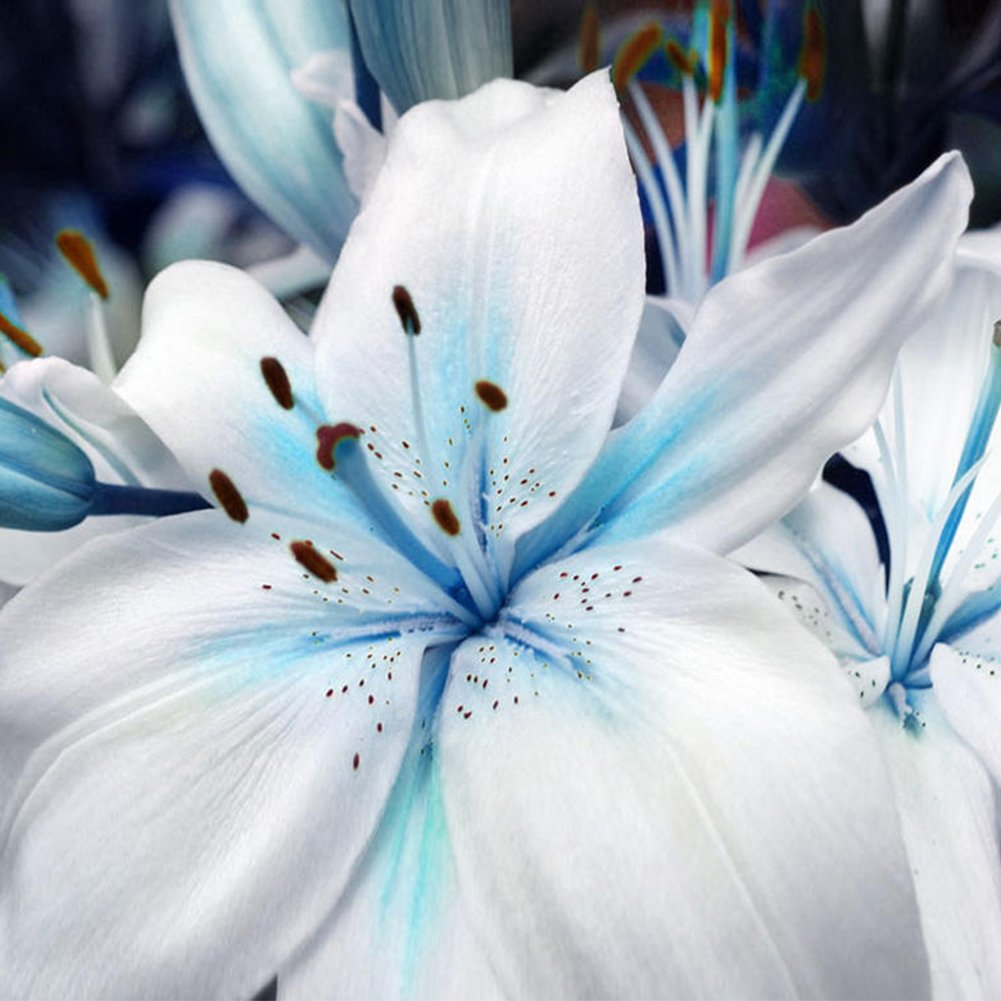 Lily Flower Seeds-Woopower 50PCS/Bags Bonsai Indoor Outdoor Specials Blue Heart Lily Plant Seed-Easy Grow- DIY Home Garden