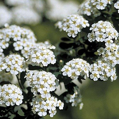 Spiraea Snowmound, White Flowering Shrub, (Quart)