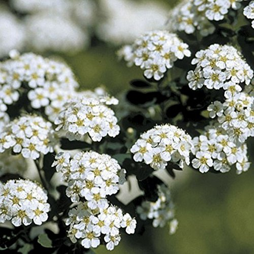 Spiraea, Flowering Spirea Shrub (10 Pack (5''), Snowmound- White)