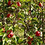 Pink Lady Apple Tree - Healthy - Established - Trade Gallon Potted - 1 Plant by Growers Solution