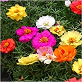 "Package of 1,000 Seeds, Portulaca ""Double Mix"" (Moss Rose) Open Pollinated Seeds by Seed Needs"
