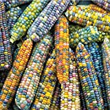 Burpee ' 'Glass Gem' Ornamental Corn, 200 Seeds