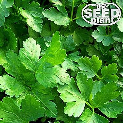 Plain Italian Parsley Seeds - 600 SEEDS NON-GMO : Garden & Outdoor