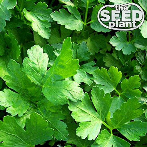 Plain Italian Parsley Seeds - 600 SEEDS NON-GMO ()