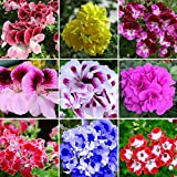 super1798 50Pcs Mixed Geranium Seeds Pelargonium Hortorum Balcony Garden Flower Plant