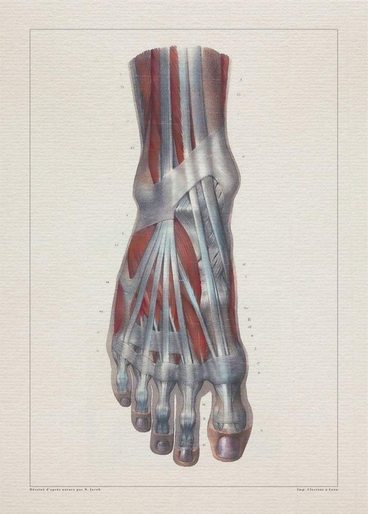 Amazon Com Anatomy Foot Tendon Muscle Print Sra3 12x18 Conqueror Laid Paper Handmade