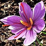 100 Saffron Crocus Corms