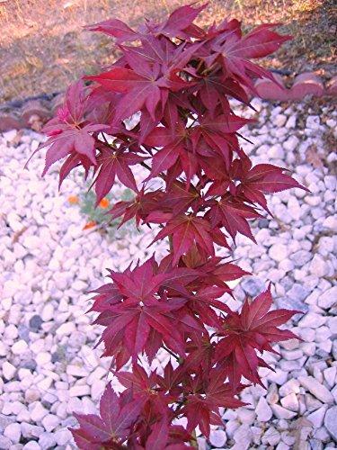 Beni Hoshi Dwarf Japanese Maple 1 - Year Live Plant by Japanese Maples and Evergreens (Image #1)