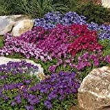50+ AUBRIETA ROYAL MIX ROCK CRESS FLOWER SEEDS / PERENNIAL / DEER RESISTANT