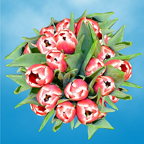 GlobalRose 30 Stems of Red and White Bicolor Tulips Flowers - Fresh Flowers for Delivery by GlobalRose