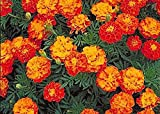 1000 French Marigold Sparky Mix Seeds - Good Addition to Vegetable Gardens for Protection from Pests