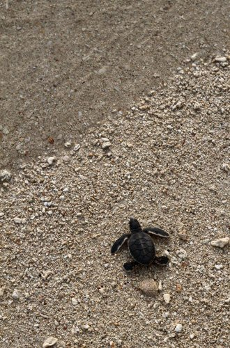 Wallmonkeys A Newly Hatched Green Sea Turtle (chelonia Mydas) Makes Its Way towards the Wat Er's Edge Peel and Stick Wall Decals WM299208 (18 in H x 12 in W) (Life Cycle Of A Green Sea Turtle compare prices)