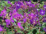 Sandys Nursery Online Tibouchina lepidota Ecuador Purple Princess 'GloryBush' ~LOT of 2~ Starter Plants