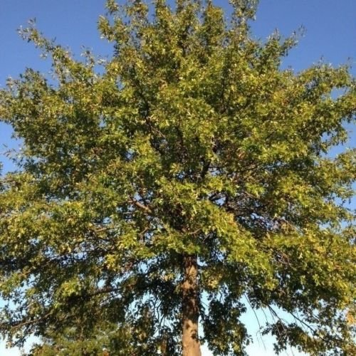 - Seeds and Farms (Quercus palustris)