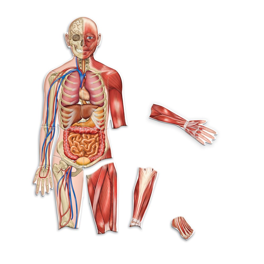 Amazon.com: Learning Resources Double-Sided Magnetic Human Body ...