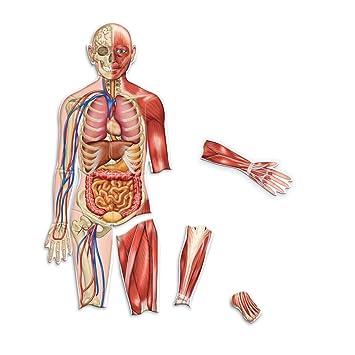Learning Resources Doppelseitiger Magnetischer Menschlicher Körper ...