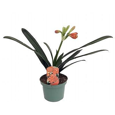"Mature Orange Clivia Plant - 6"" Pot - Blooming Size - Collector's Series : Flowering Plants : Garden & Outdoor"