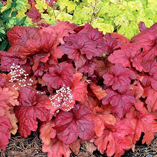 - Fire Chief Coral Bells - Heuchera - Shade Perennial - Gallon Pot
