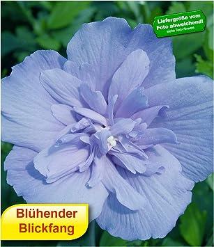 Baldur Garten Baldur Gartengefüllter Hibiskus Chiffon Blau 1 Pflanze
