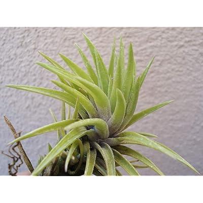 3-4 Inch Air Plants Tillandsia Neglecta Giant Easy to Care - CSR292 : Garden & Outdoor