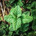 All Good Things Organic Seeds Lemon Balm Seeds (~150): Certified Organic, Non-GMO, Heirloom, Open Pollinated Seeds from the United States